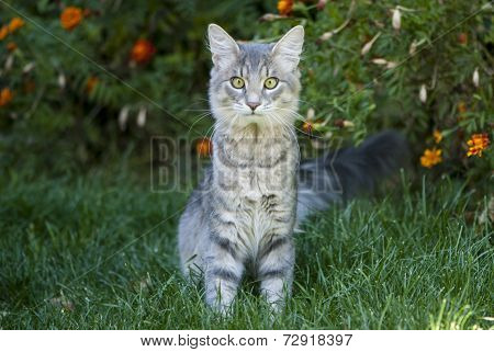 Cute Gray Cat Sitting On The Grass