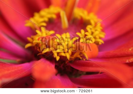Closeup Of Red And Pink Zinnia