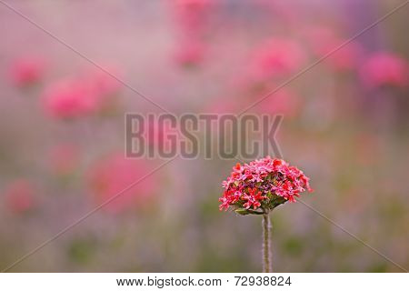 Reddish Pink Summer Flower