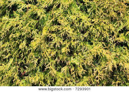 Hemlock leaves