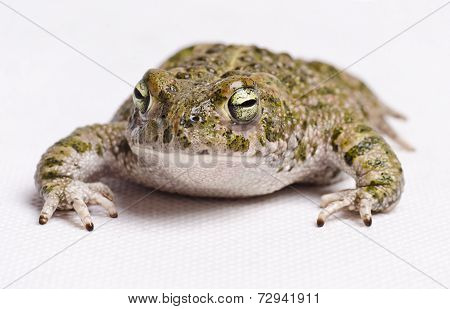Runner Toad