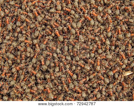 Fuzz In The Ant Colony