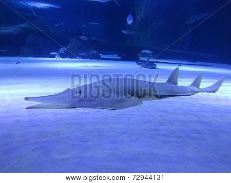 Shark Of The Sea Floor In The Deep Blue Water