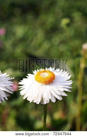 Xerochrysum Bracteatum ( Golden Everlasting Or Strawflower)