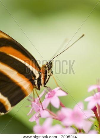 Banded Orange Heliconian (dryadula Phaetusa) Feeding On Flowers