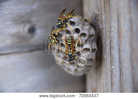 A wasp's nest