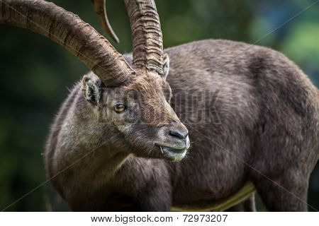Close Up Ibex