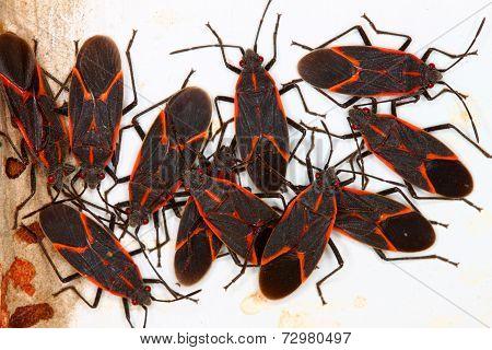 Boxelder Bugs (Boisea trivittata)
