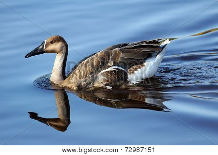 Swan Goose On Water