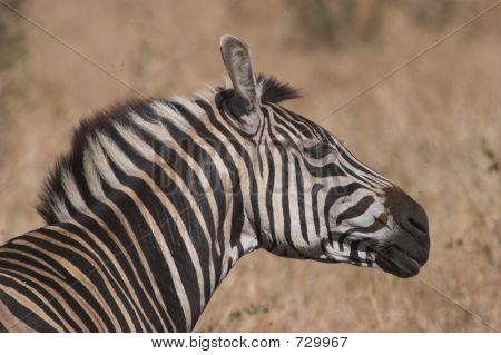 Zebra Shake