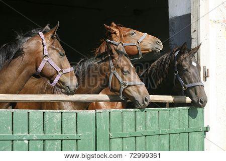 Beautiful thoroughbred horses at the barn door.