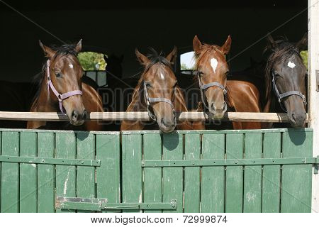 Beautiful thoroughbred horses at the barn door.