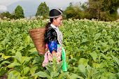 pic of hmong  - Hmong of Asia harvests tobacco agriculture in traditional clothes - JPG