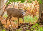 image of deer rack  - Whitetail Deer Buck standing in a woods - JPG