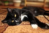 picture of prone  - nice black cat lolling about on the carpet