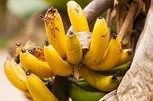 image of banana tree  - Banana tree in the Amazonian jungle National Park Yasuni  - JPG