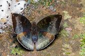 picture of malay  - Male malay baron butterfly is sucking foodground - JPG