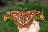 picture of moth larva  - Female attacus atlas moth open wings on hand - JPG