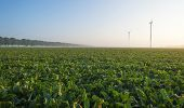 pic of turnips  - Turnip growing on a foggy field at dawn - JPG