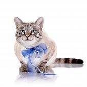 pic of blue tabby  - Striped blue - JPG