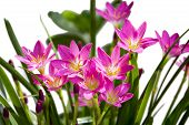 pic of lillies  - Lilly flowers on white background wall behind them - JPG
