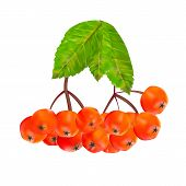 stock photo of rowan berry  - Rowan Berries and Leaves Vector Illustration - JPG