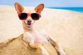 pic of chihuahua  - cool chihuahua dog at the beach wearing sunglasses - JPG