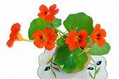 picture of nasturtium  - Bright orange flowers of a nasturtium with roundish green leaves in a ceramic vase - JPG