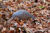 pic of armadillo  - Nine - JPG
