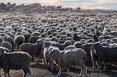 stock photo of tierra  - That is a lot of sheeps Tierra del Fuego Argentina - JPG