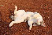 image of wallow  - white gray cat wallowing onthe ground - JPG