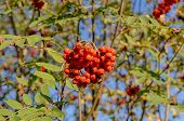 picture of mountain-ash  - ripe mountain ash in the autumn closeup