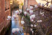stock photo of gents  - Pink magnolia flowers over a canal in Gent Belgium - JPG