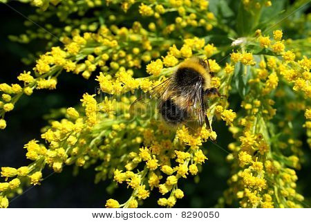 Bumblebee In Goldenrod Flowers