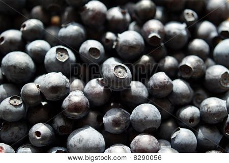 Bilberry Background (Vaccinium myrtillus)