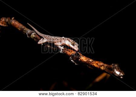 Gecko on a branch at night