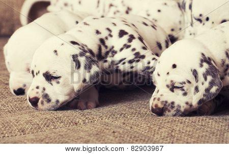many puppies dalmatian close up newborn