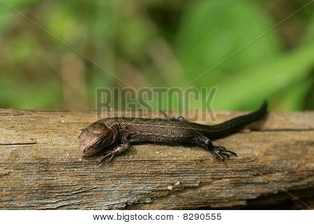 Tiny bronze lizard