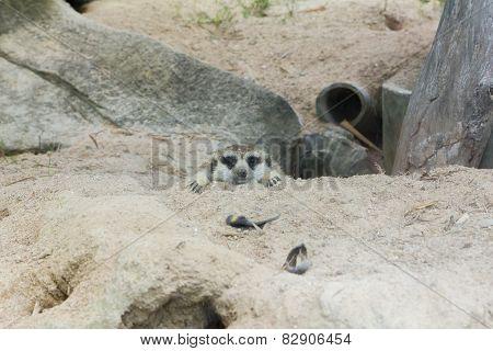 head meerkat