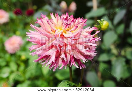 One Great Dahlia