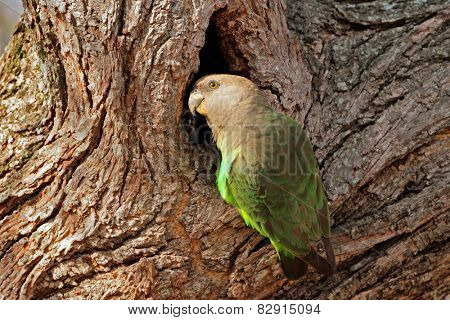 A brownheaded parrot (Piocephalus cryptoxanthus) at its nest in a tree, South Africa
