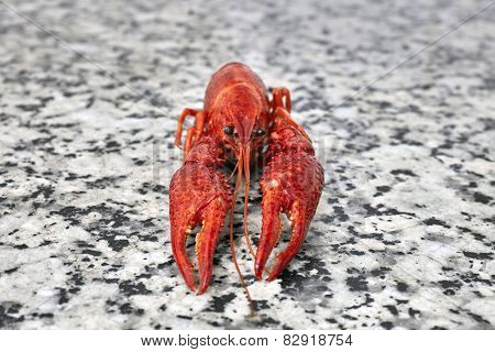 One Big River Crayfish On Grey Worktop In Rows
