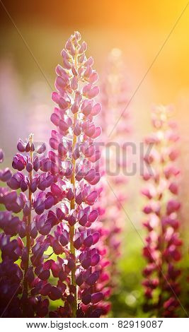 Wild-growing Flowers Of A Lupine