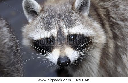 Racoon (procyon Lotor) Face, Close-up