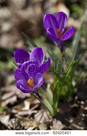 Crocus vernus Purpureus Grandiflorus Blossoms