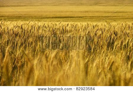 Wheat field. wheat crop.