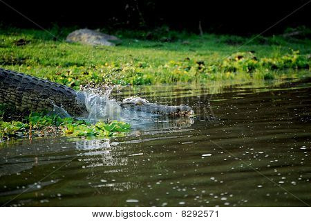 Crocodile Swimming