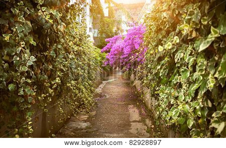 Road With Growing Bougainvillea Flowers At Sunny Day