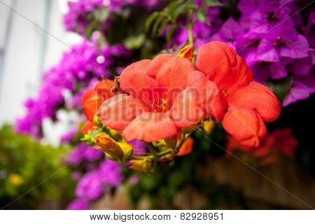 Bougainvillea Pink And Red Flowers