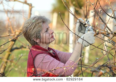 Agriculture, Pruning In Orchard